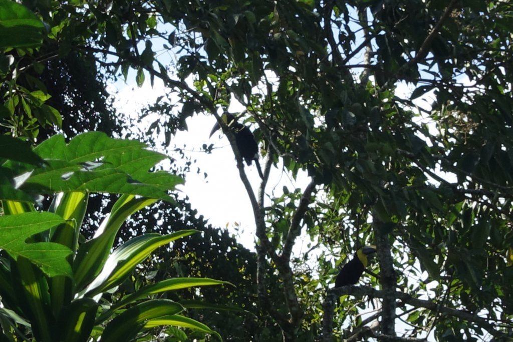 toucans in the trees