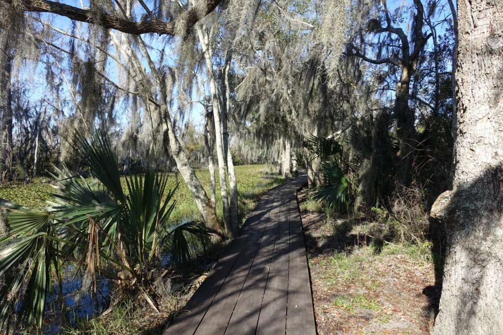 boardwalk through a swamp with moss in the trees
