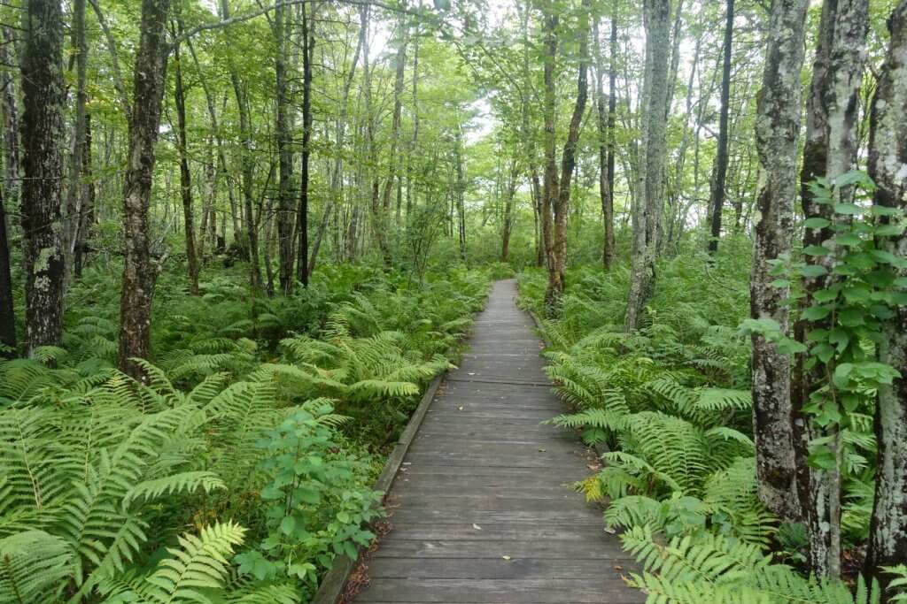 boardwalk through ferns and forest