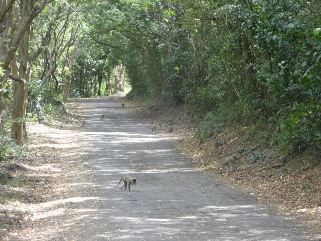 wild monkeys on a path
