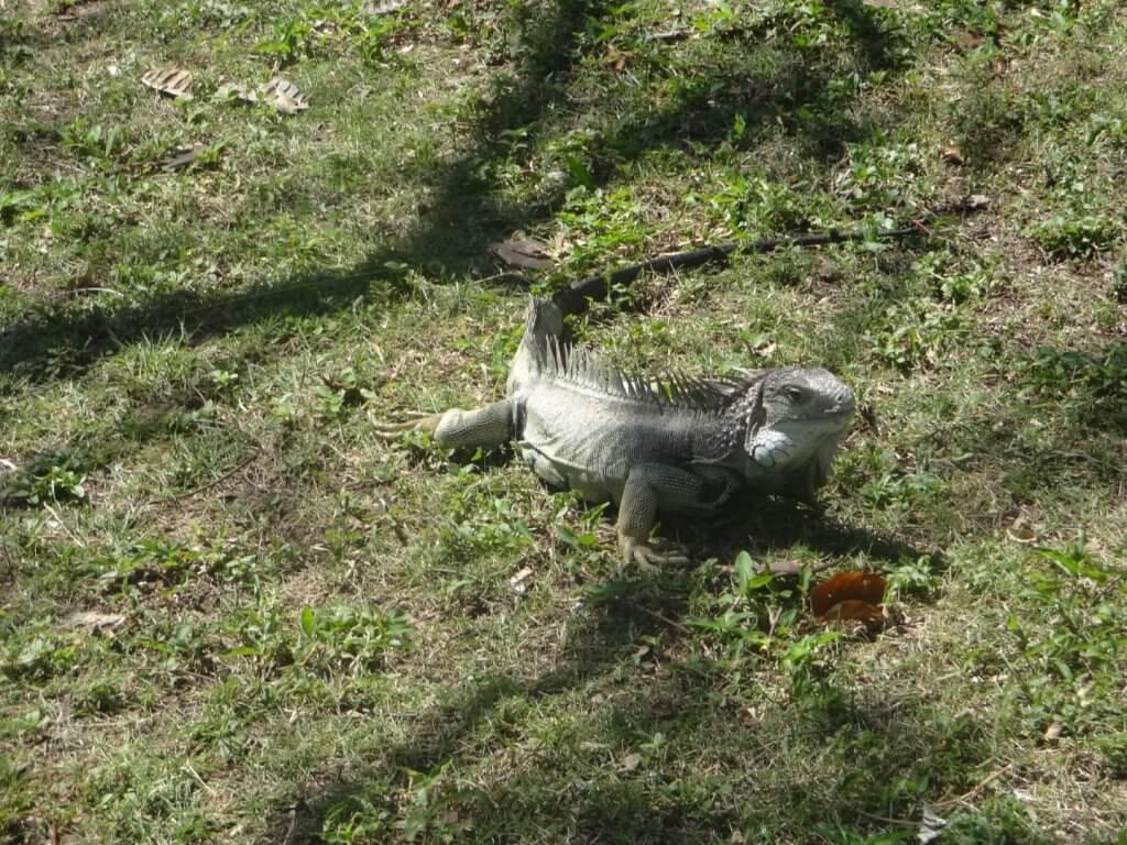 wild iguana on grass