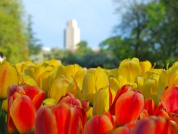 tulips with building in background
