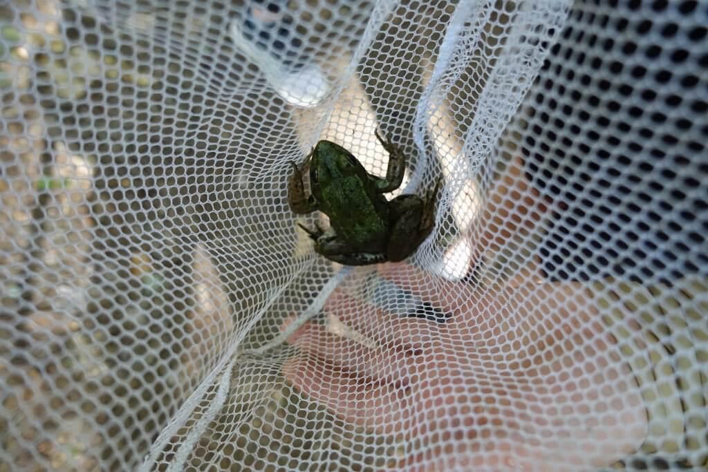 frog in a net