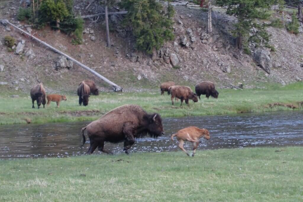 Buffalo on the banks of river