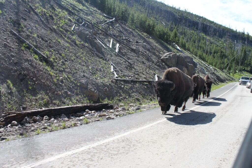Buffalo walking on road