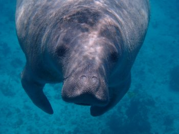 manatee in the water